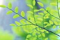 Green leaves on a tree branch.
